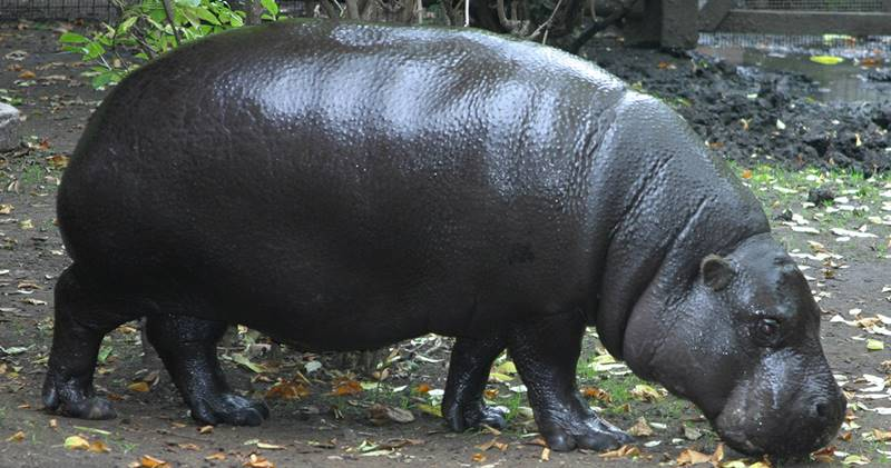Have You Ever Seen Pygmy Hippos Yet? 1