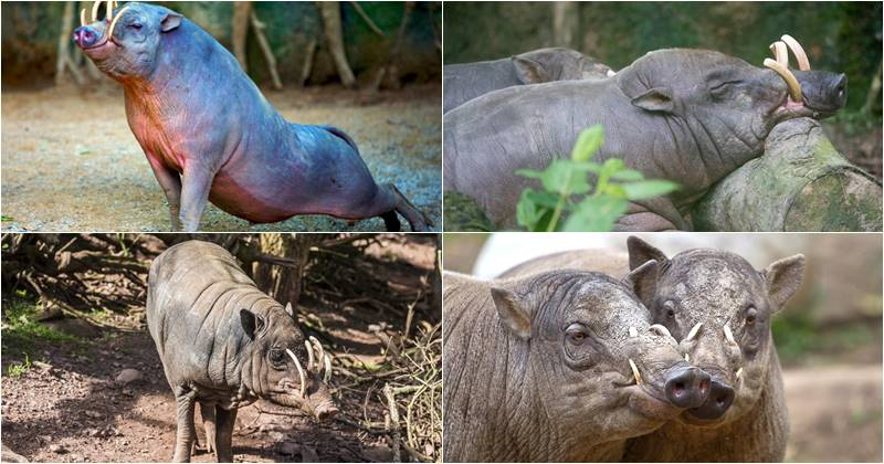 Babirusa is one of Indonesian Collection at Bali Safari Park 2