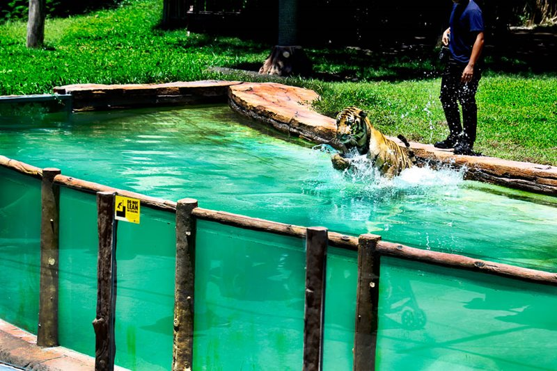Harimau Show at Bali Safari Park