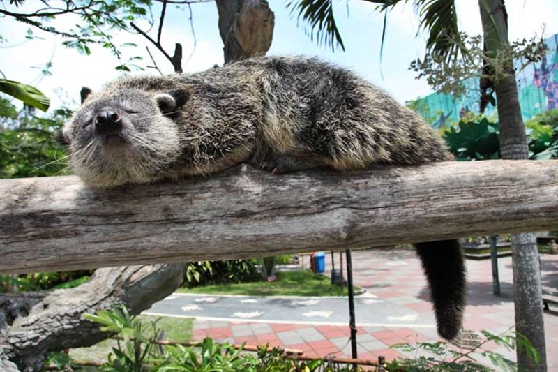 Get To Know The Binturong - Special Animals at Bali Safari Park 1
