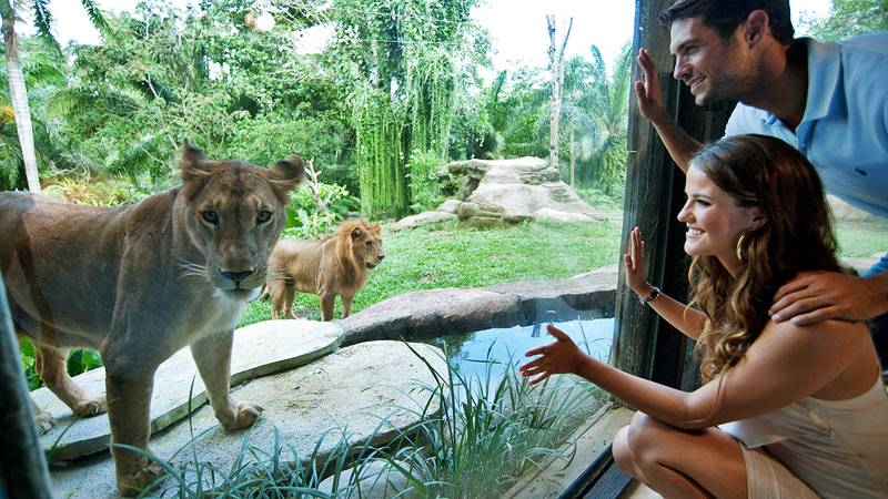 Enjoy The Exciting Adventure in Bali Safari Park and Learn About The Surprising Facts About The Lion 1