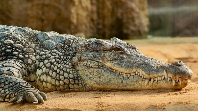 Learn Interesting Facts about Crocodiles at Bali Safari Park 2