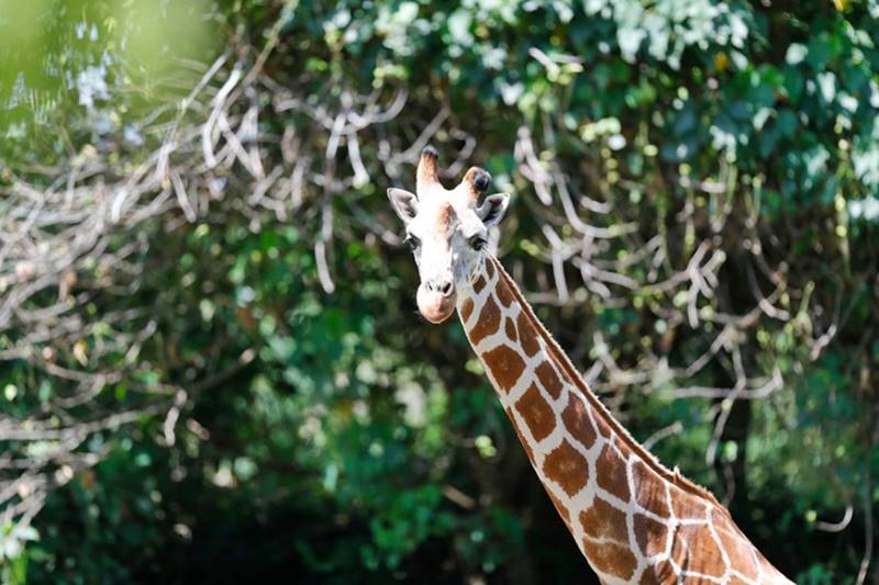 giraffe in wildlife