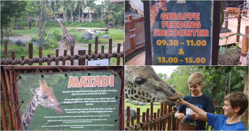giraffe feeding bali safari and marine park
