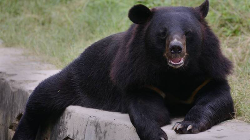 Himalayan Black Bear, The Beast That Could Walk On Both Feet 1