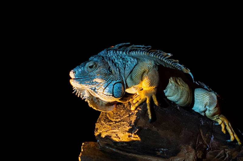 Are You Curious About The Secrets Of The Iguana? 1