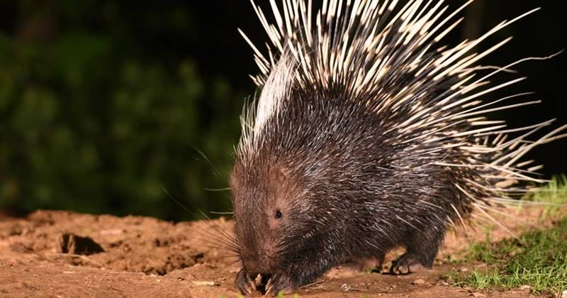 Malayan Porcupine And Its Quills 2