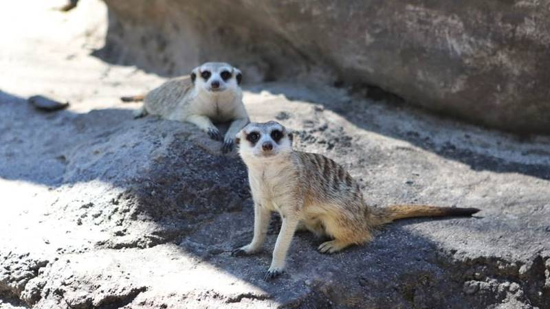 Let's Meet The Meerkats Personally: The-High Social and Quirky Mammal in Bali Safari Park 1