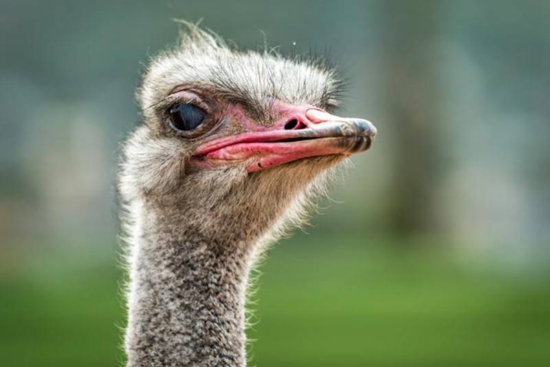 The Actual Facts About Ostrich 1