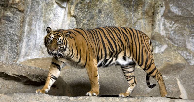 Sumatran Tiger And Threat Of Extinction 1