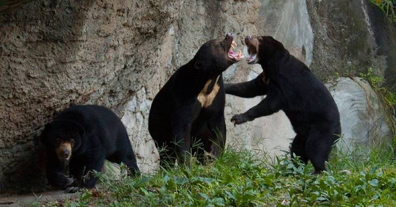 Sun Bear: The Smallest Bear In The World, Symbol Of Sunrise 1