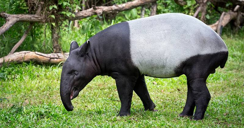 All About Tapir: From Little Snout To Water Spa 1
