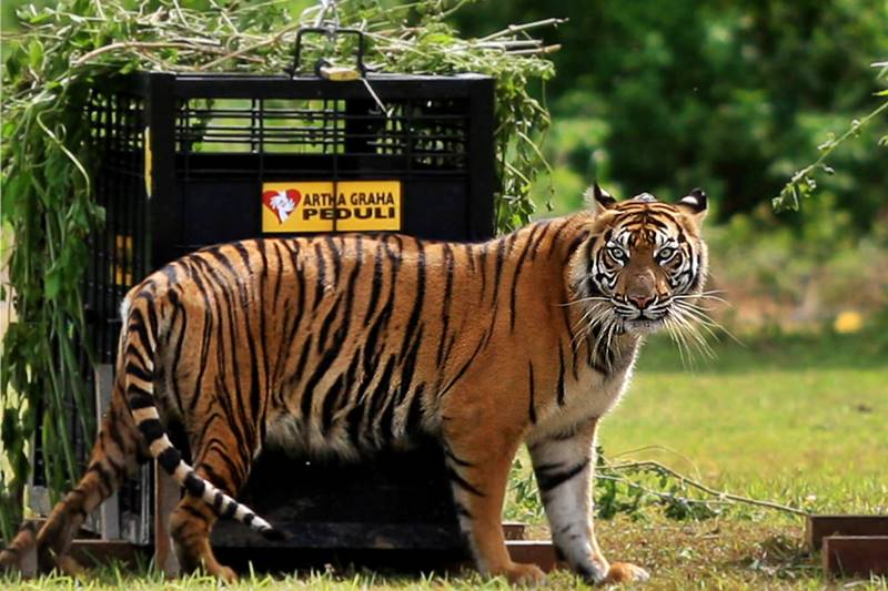 Get Closer with Lions and Tigers at Bali Safari Park 2
