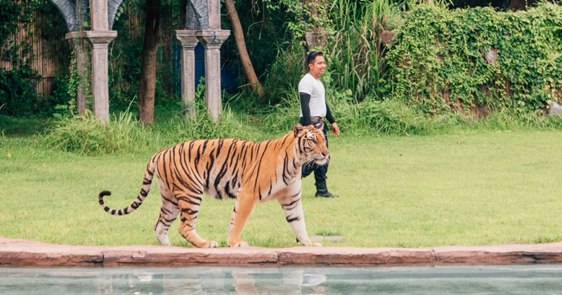 Big cat show or Harimau show