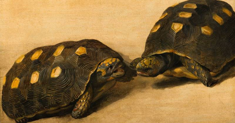 7 Ways To Care For A Good And True Brazilian Tortoise 1